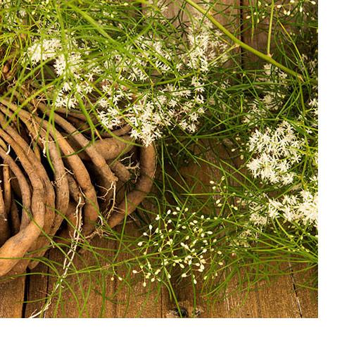 Shatavari, unha planta sensual e adaptogénica