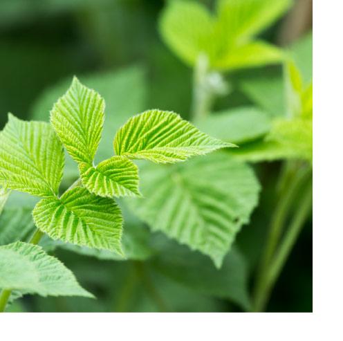 a framboesa, unha planta astrinxente